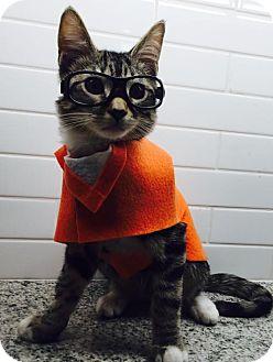 Domestic Shorthair Kitten for adoption in Philadelphia, Pennsylvania - Cosmo