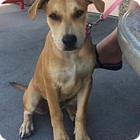 Adopt A Pet :: Amber - Yukon, OK