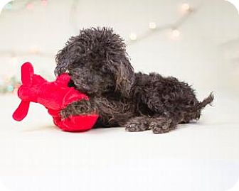 Poodle (Miniature) Mix Dog for adoption in Pt. Richmond, California - PIPER