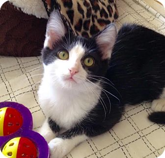 Domestic Shorthair Kitten for adoption in Mooresville, North Carolina - A..  Eleanor