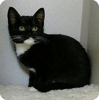 Domestic Shorthair Kitten for adoption in Shoreline, Washington - Kimberly