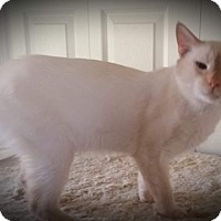 Siamese Cat for adoption in Fairborn, Ohio - Lucky