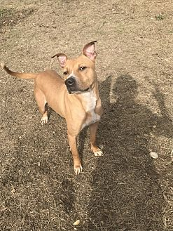 Australian Cattle Dog/American Pit Bull Terrier Mix Dog for adoption in Jackson, Mississippi - Cash