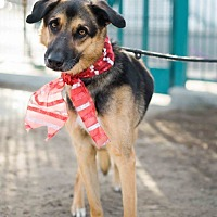 Shepherd (Unknown Type)/Greyhound Mix Dog for adoption in Los Angeles, California - URGENT - Dobie-VIDEO