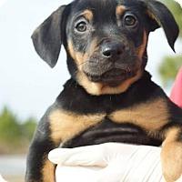Adopt A Pet :: Malana - Washington, DC