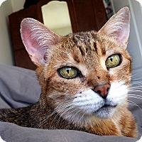 Adopt A Pet :: Abby *declawed* - Toronto, ON