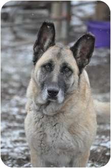 German Shepherd Dog Dog for adoption in Hamilton, Montana - Sasha