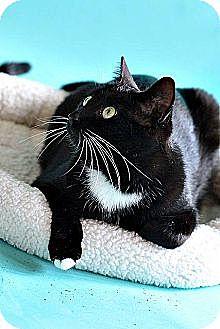 Domestic Shorthair Cat for adoption in Saint Clair Shores, Michigan - Luke