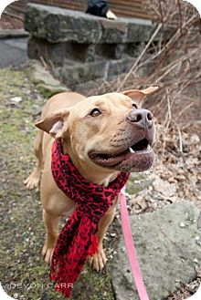 Labrador Retriever/American Staffordshire Terrier Mix Dog for adoption in Youngstown, Ohio - Bobbie Jo