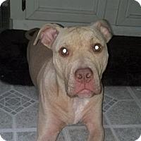 Adopt A Pet :: Stewie - Hollywood, FL