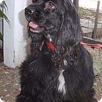 Adopt A Pet :: Blackie - Sugarland, TX