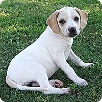 Adopt A Pet :: *Hannah - PENDING - Westport, CT