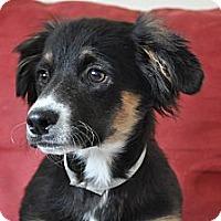Adopt A Pet :: Tommy - Tumwater, WA
