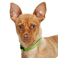 Adopt A Pet :: Dobie - Burbank, CA