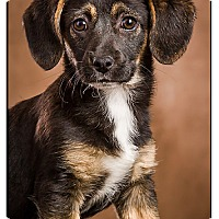 Adopt A Pet :: Hermoine - Owensboro, KY