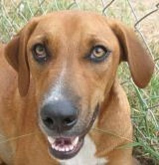 Labrador Retriever/German Shepherd Dog Mix Dog for adoption in Grand Saline, Texas - Bonnie