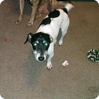 Jack Russell Terrier Dog for adoption in Pasadena, Maryland - Mojo
