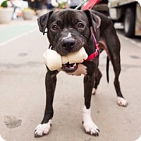 Adopt A Pet :: Pedro - Philadelphia, PA