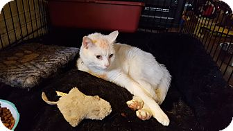 Domestic Mediumhair Cat for adoption in Berkeley Hts, New Jersey - Milo