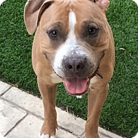 Pit Bull Terrier Mix Dog for adoption in Las Vegas, Nevada - Jonah