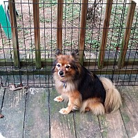 Adopt A Pet :: Sassy - conroe, TX