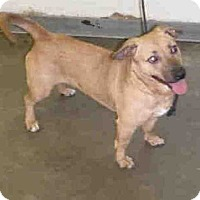 Adopt A Pet :: Corgi Mix Fl - Lomita, CA