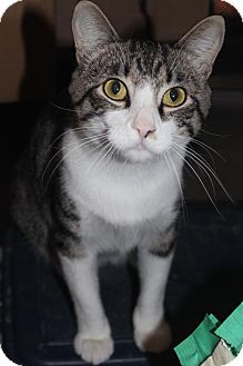 Domestic Shorthair Cat for adoption in Herndon, Virginia - Tom