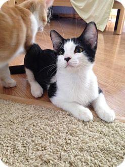 Domestic Shorthair Kitten for adoption in Plymouth, Minnesota - Willie