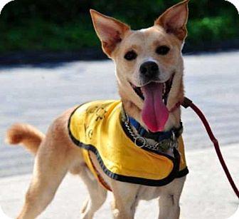 Shiba Inu/Chihuahua Mix Dog for adoption in Waterbury, Connecticut - Kai