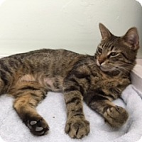 Domestic Shorthair Cat for adoption in Diamond Springs, California - Skoshi