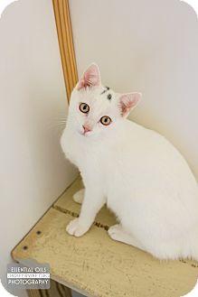 Domestic Shorthair Kitten for adoption in Leander, Texas - Steely