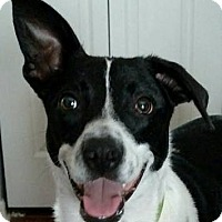 Border Collie/Rat Terrier Mix Dog for adoption in Bradenton, Florida - Brody