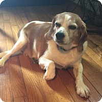 Beagle Mix Dog for adoption in Kittery, Maine - Sadie