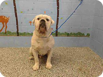 Bulldog Mix Dog for adoption in San Bernardino, California - URGENT on 10/22 SAN BERNARDINO