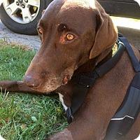 Adopt A Pet :: Bear - Pataskala, OH