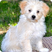 Shih Tzu/Poodle (Miniature) Mix Puppy for adoption in Simi Valley, California - Sunny