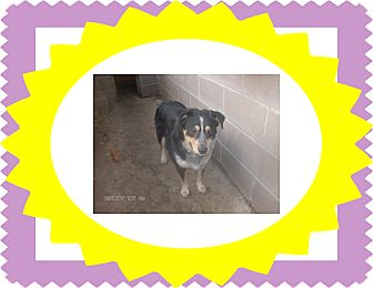 Blue Heeler/Border Collie Mix Dog for adoption in KELLYVILLE, Oklahoma - BUSTER