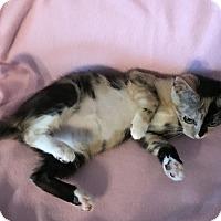 Adopt A Pet :: Tiger Lily - Tampa, FL