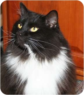Domestic Longhair Cat for adoption in Cincinnati, Ohio - Bogart