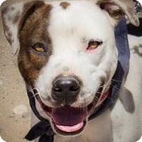 American Staffordshire Terrier/Hound (Unknown Type) Mix Dog for adoption in Dallas, Texas - zzRoss