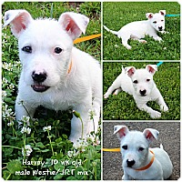 Adopt A Pet :: Harvey - Evansville, IN