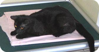 Domestic Shorthair Cat for adoption in Jacksonville, Florida - Samantha 0304