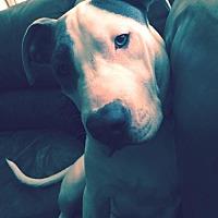 Adopt A Pet :: Blu- Courtesy Listing - Fredericksburg, VA