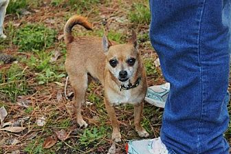 Chihuahua Mix Dog for adoption in Evans, Georgia - Rocco