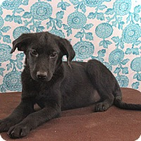 Adopt A Pet :: Brittany - Starkville, MS