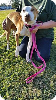 Hound (Unknown Type)/American Pit Bull Terrier Mix Dog for adoption in Beaumont, Texas - RICKY