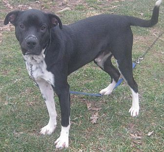 Labrador Retriever/Staffordshire Bull Terrier Mix Dog for adoption in Hillsboro, Ohio - Tyson