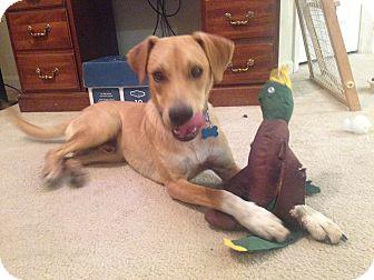 Labrador Retriever/Retriever (Unknown Type) Mix Dog for adoption in Indianapolis, Indiana - Tiny