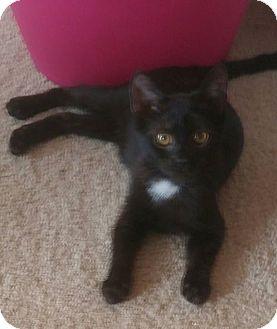 Domestic Shorthair Kitten for adoption in Virginia Beach, Virginia - Asia 14 weeks old