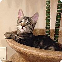 Domestic Shorthair Kitten for adoption in Rocklin, California - Molokini ( Molly)